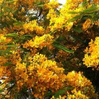 YELLOW ROYAL POINCIANA