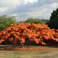 ORANGE FLAMBOYANT TREE
