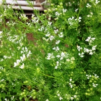CILANTRO IN BLOOM
