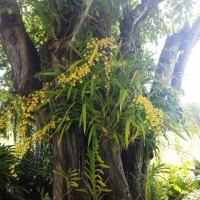 TREE WITH FLOWERING ORCHIDS